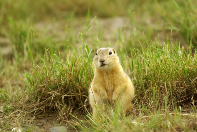 Confused Gopher